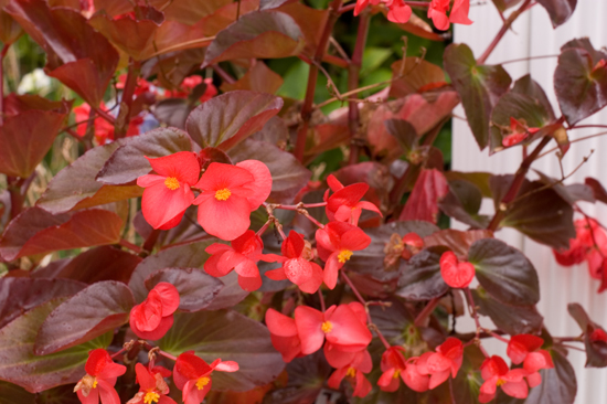 Angel Wing Begonias | afoodieaffair.com