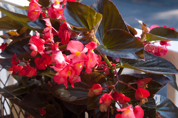 Angel Wing Begonia | afoodieaffair.com